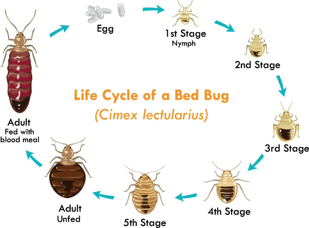 What Are Bed Bugs Local Pest Control