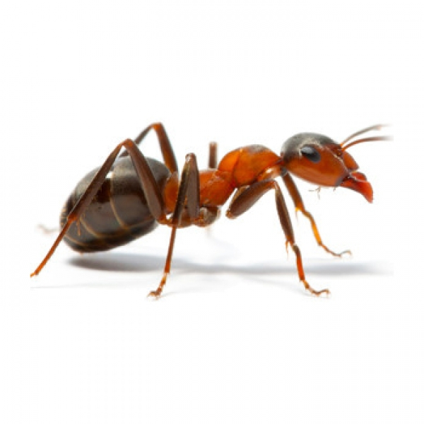 vancouver-bc-ant-control