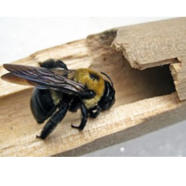 carpenter-bee-control-vancouver