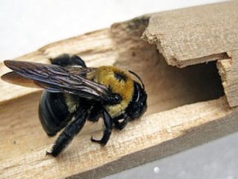 carpenter-bees-vancouver