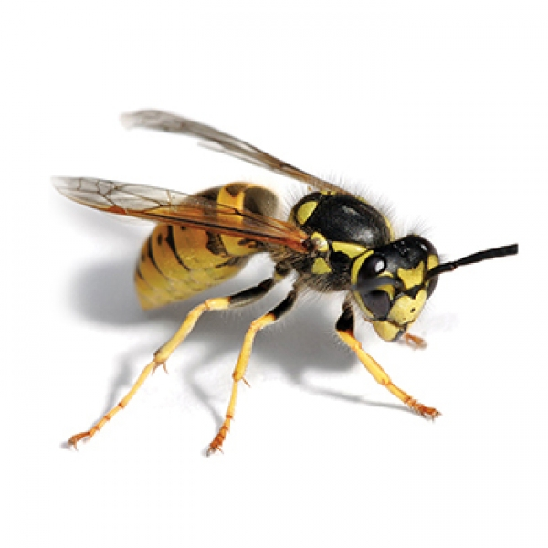 wasps-control-vancouver