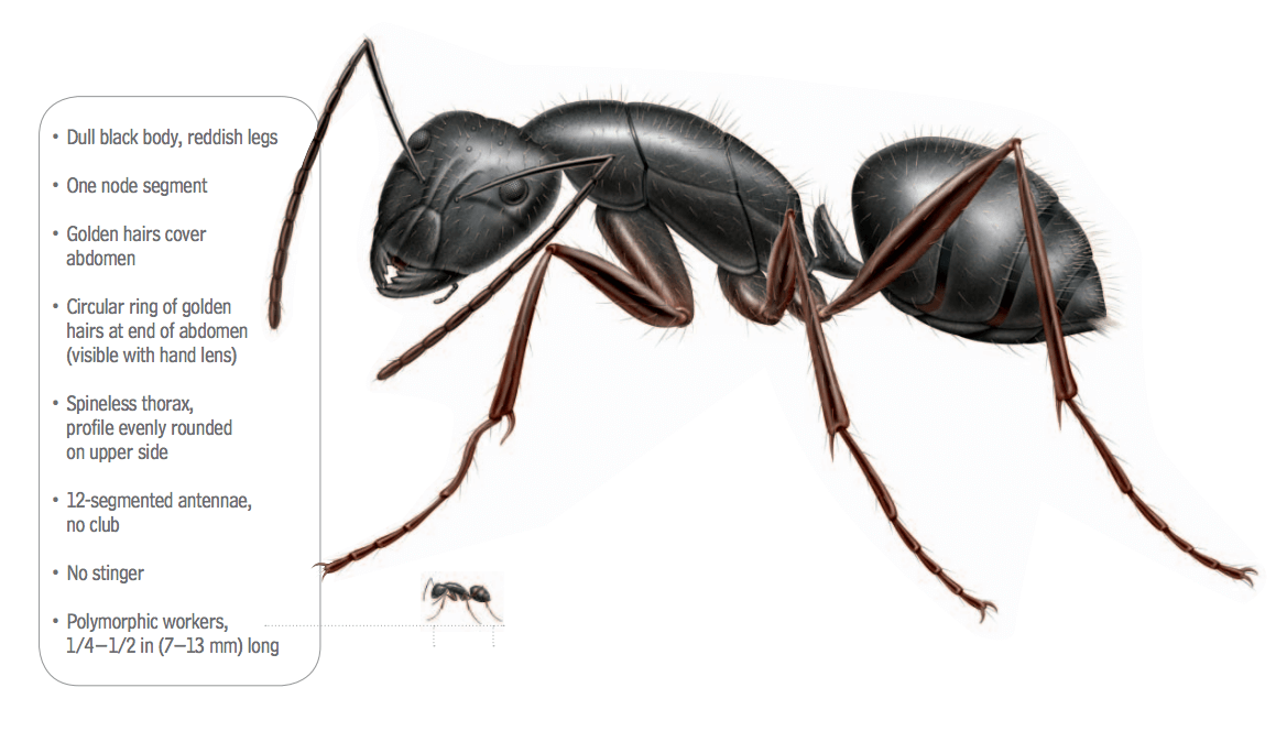 carpenter_ant_anatomy