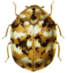 What You Need To Know About Carpet Beetles Since The